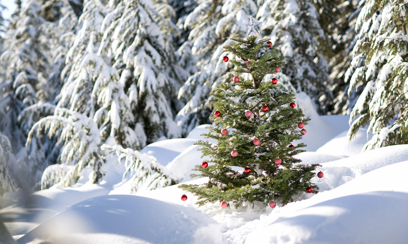 Christmas trees can carry mold, cause allergic reactions