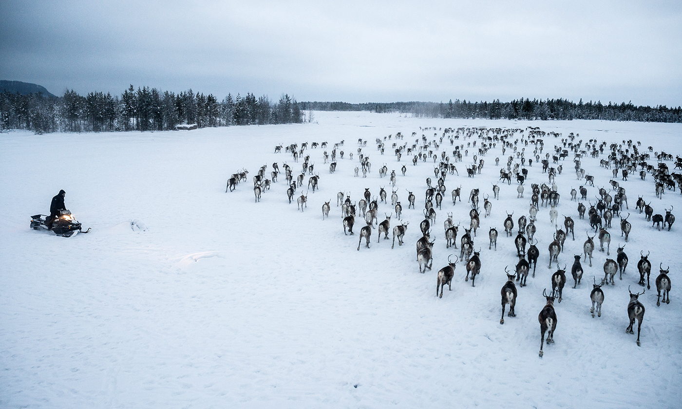 Fighting for Free-Range Reindeer in Norway's Far North