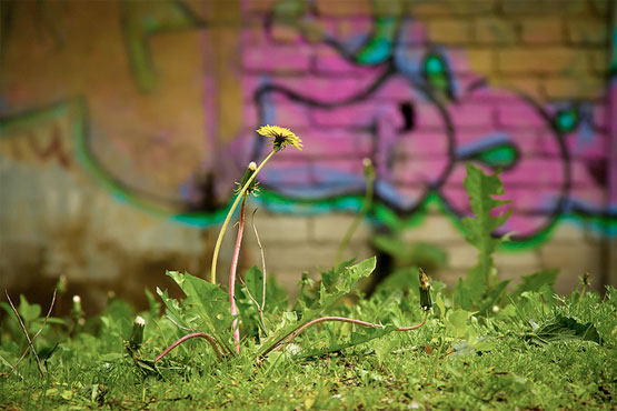 Urban Dandelion photo by Frederick Linge