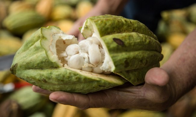 Your Chocolate Might Have Survived This Fungus in Ecuador