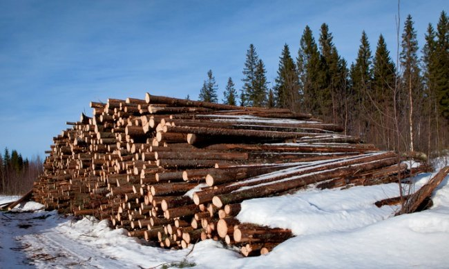 The Paper Company Threatening Ancient Boreal Forests—And Activists and Journalists