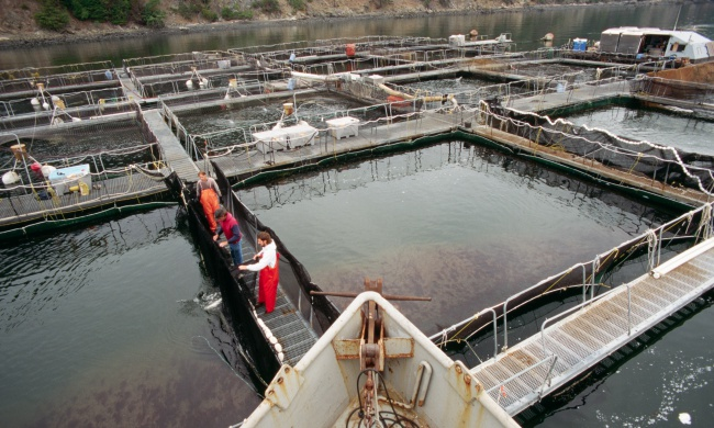 Ignore the Lame Excuses: What 300,000 Escaped Salmon Prove About Factory Fish Farming