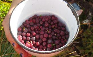 Blackfeet-tribe-native-traditional-food-berries.jpg