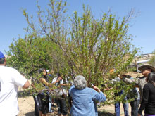 Four Generations Restore Family Orchard (First Mesa