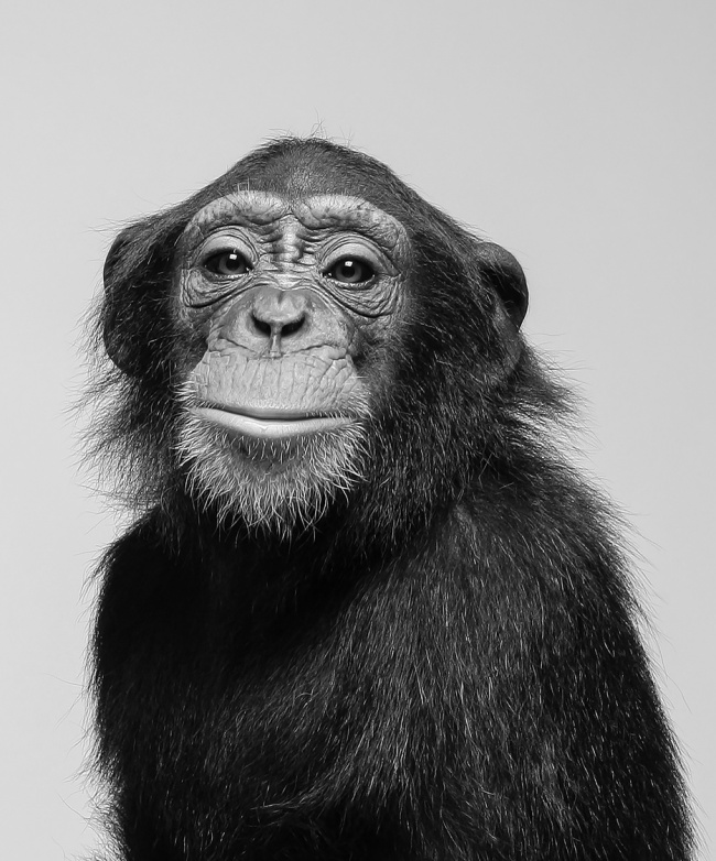 Chimps Could Soon Win Legal Personhood