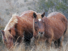 Wild horses photo by Becky Gregory