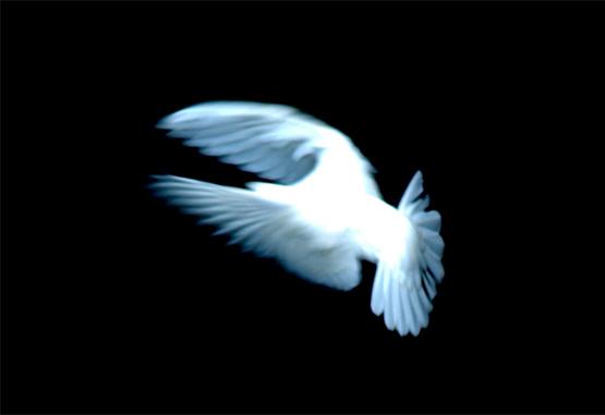 White dove by Ken Douglas